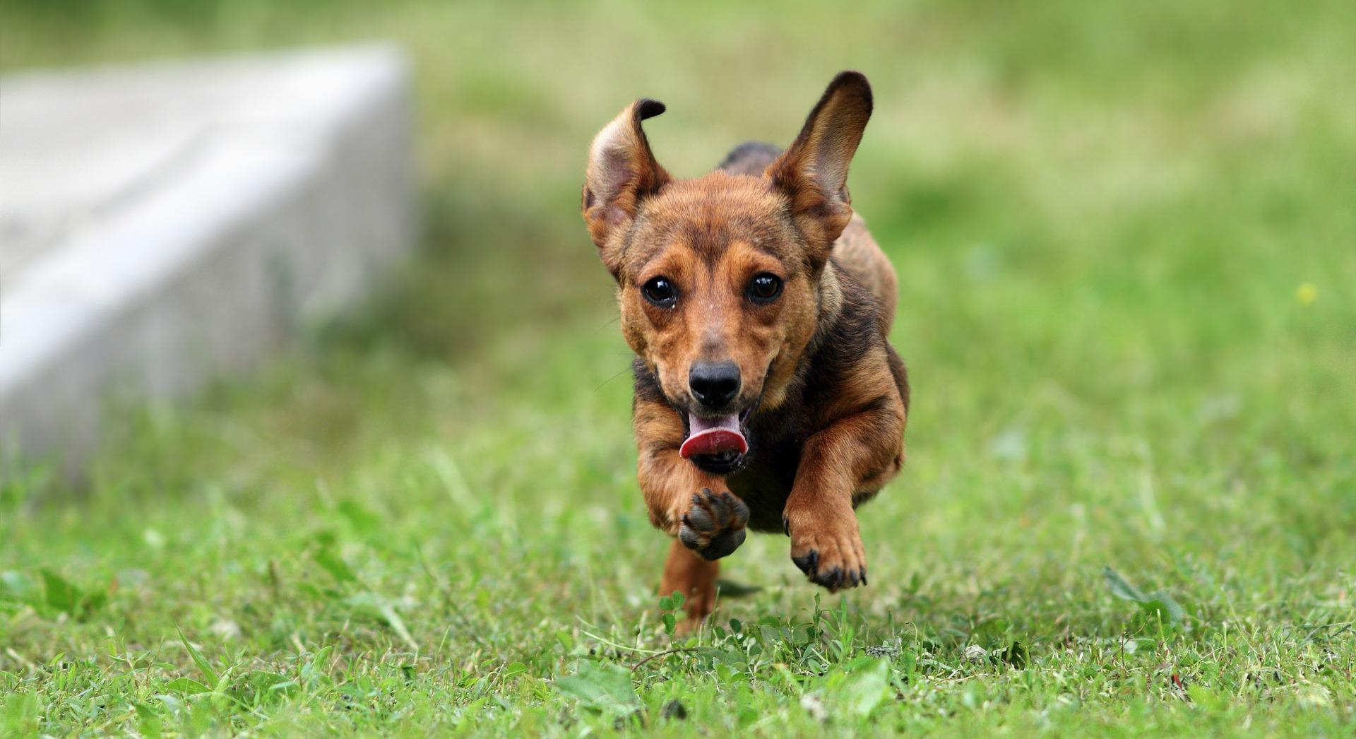 running-dogs-Senco-Dogs