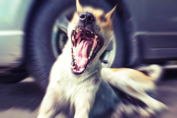 portrait of a dog yawning  in front