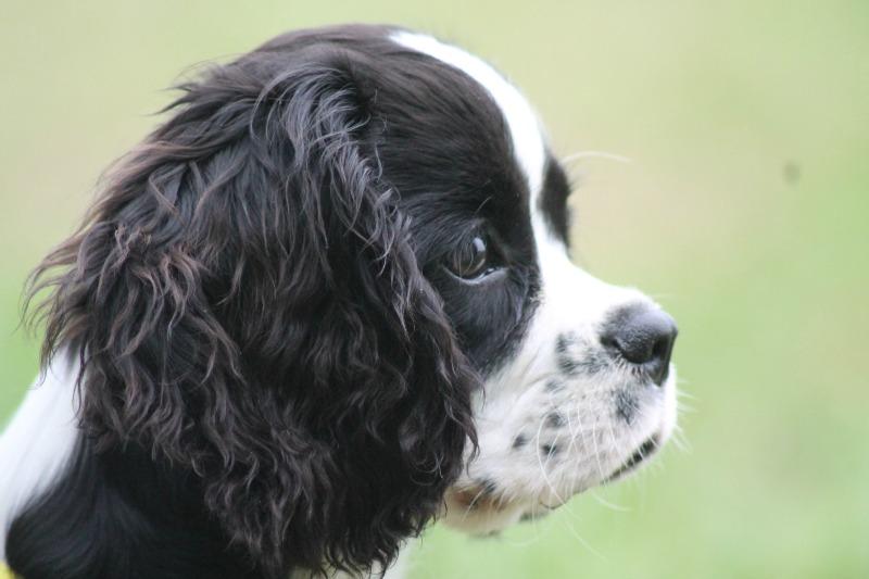 kleiner-Welpe-Senco-Dogs